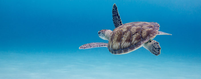 Green Sea Turtle ner by little Curacao, Dutch Caribbean, island in between Bonaire and Curacao